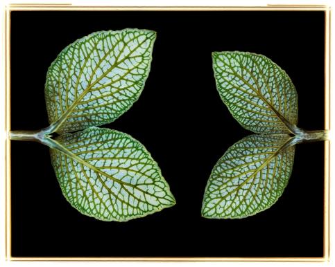 Mosaic Plant: Fittonia verschaffeltii