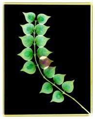 Jade Plant: Crassula argentea