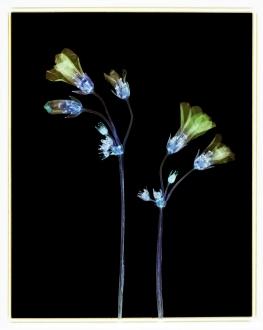 Shamrock Plant: Oxalis triangularis