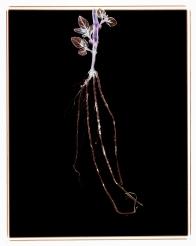 Polka Dot Plant: Hypoestes phyllostachya
