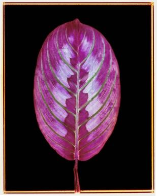 Red Veined Prayer Plant: Maranta leuconeura